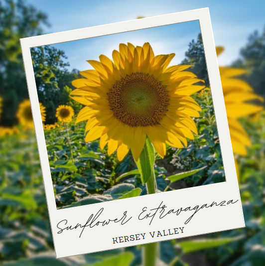 Sunflower Extravaganza - Things to do in High Point NC